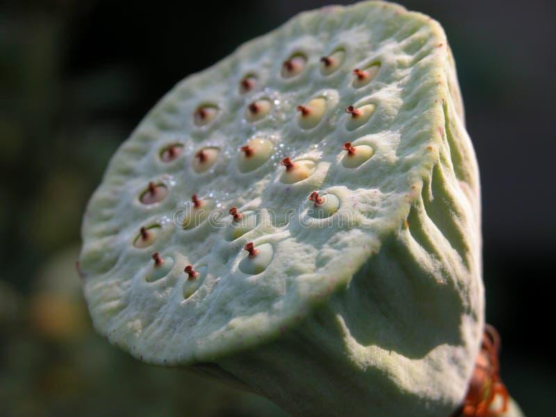 tête de fleur de lotus photos libres de droits