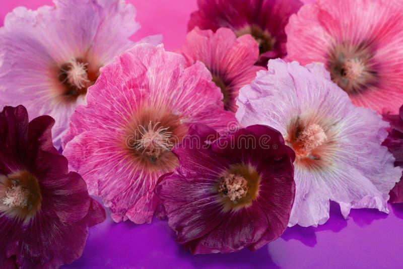 Tête de fleur de mauve sur le blanc photographie stock