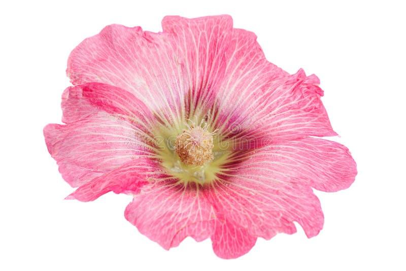 Tête de fleur de mauve sur le blanc photos stock