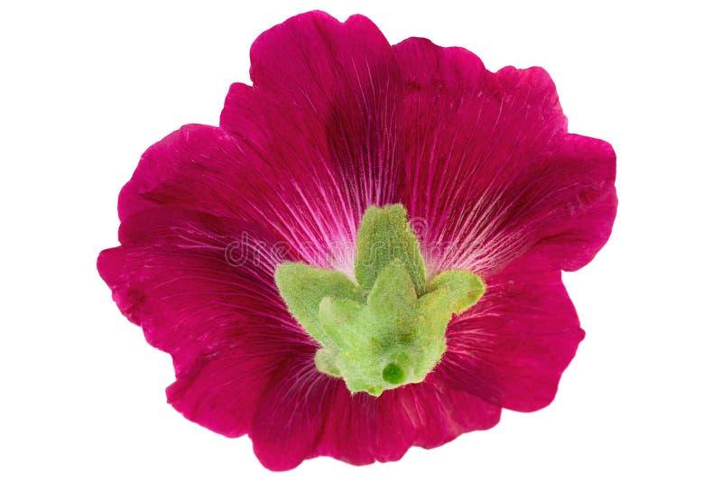 Tête de fleur de mauve sur le blanc photos libres de droits