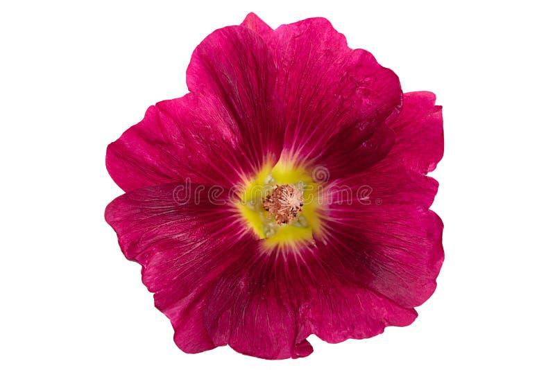 Tête de fleur de mauve sur le blanc photo libre de droits