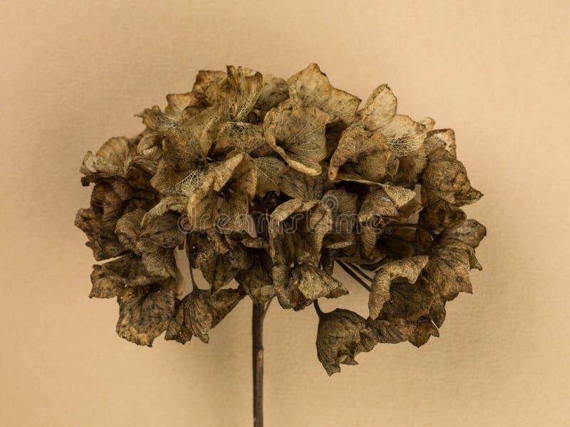 Tête de fleur morte simple d'hortensia de décomposition image stock