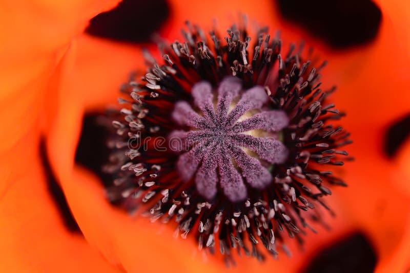 Tête de fleur rouge de pavot image stock