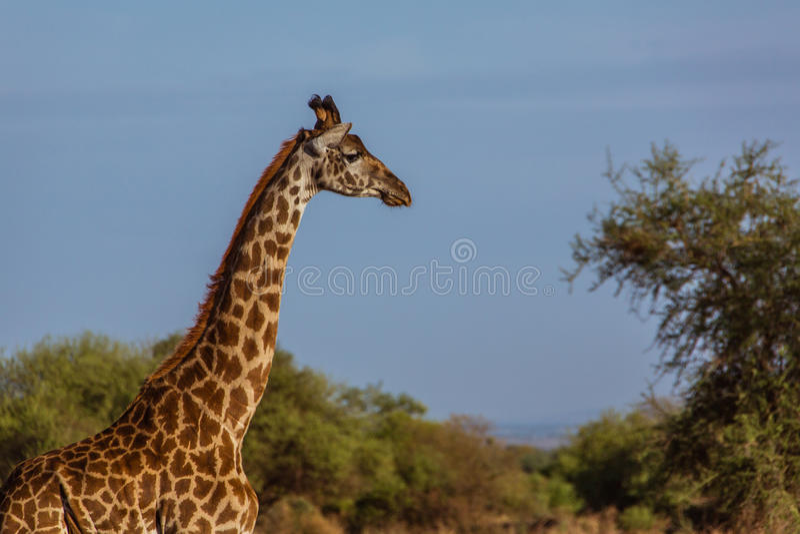Tête de girafe affrican image libre de droits