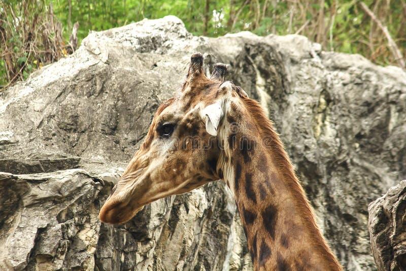 Tête de girafe dans la marche de zoo photos libres de droits