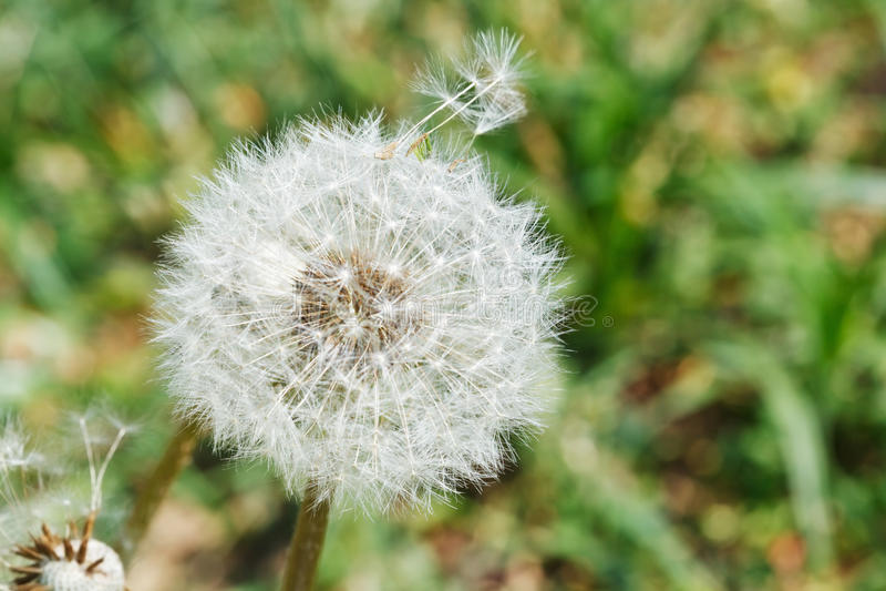 Tête de graine de blowball de pissenlit sur la pelouse photos stock