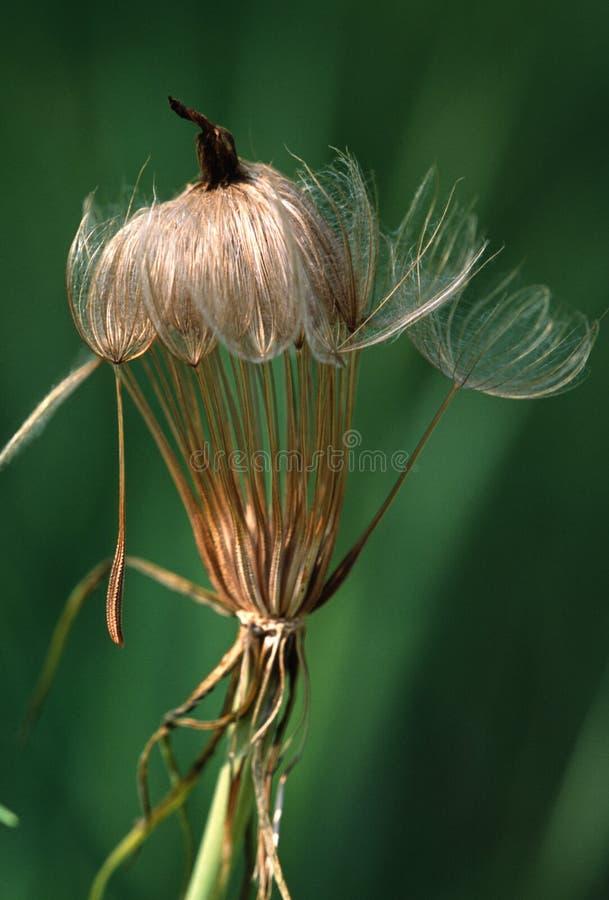 Tête de graine de la barbe de la chèvre jaune environ pour lancer ses graines dans la brise d'été photographie stock libre de droits