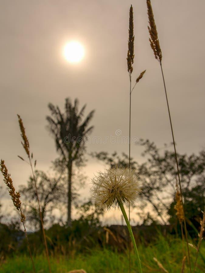 T?te de graine de pissenlit au soleil d'apr?s-midi photographie stock