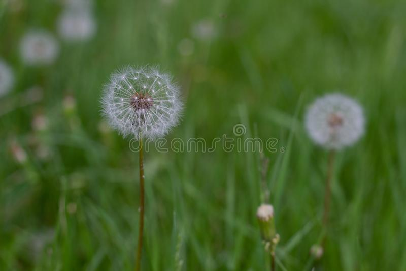 Tête de graine de pissenlit sur le fond d'herbe verte images stock