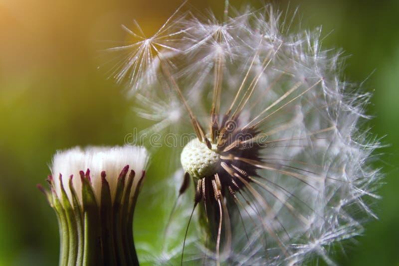 Tête de graine de pissenlit sur le fond d'herbe verte photo libre de droits