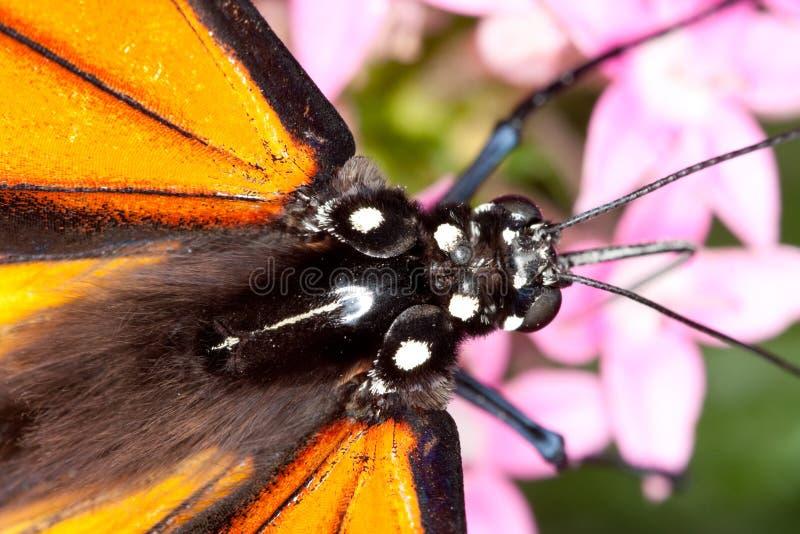 Tête de guindineau de monarque et plan rapproché de thorax image stock