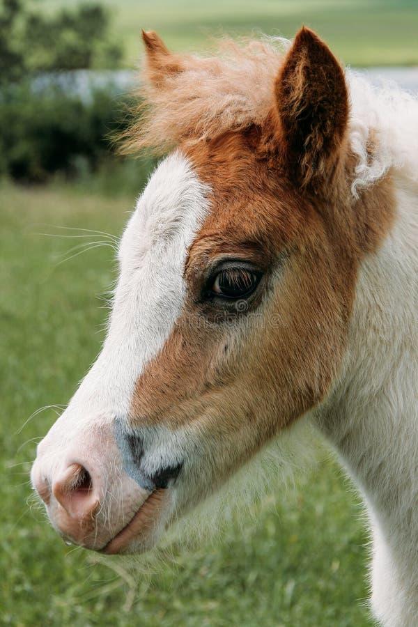 Tête de jeune poney photo stock