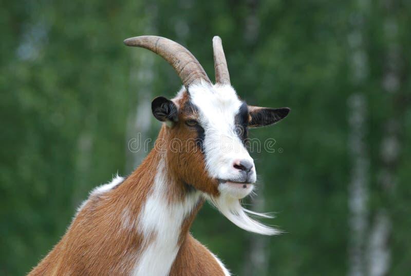 Tête de la chèvre image stock