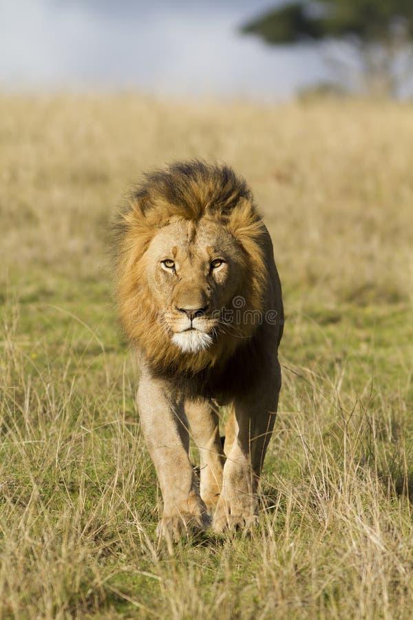 Tête de lion en fonction