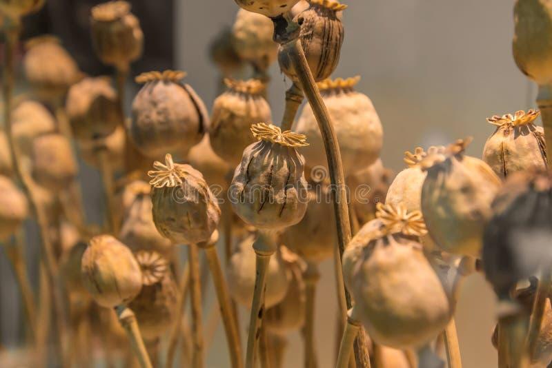 Tête de pavot à opium, usines pour la médecine ou drogues photos stock