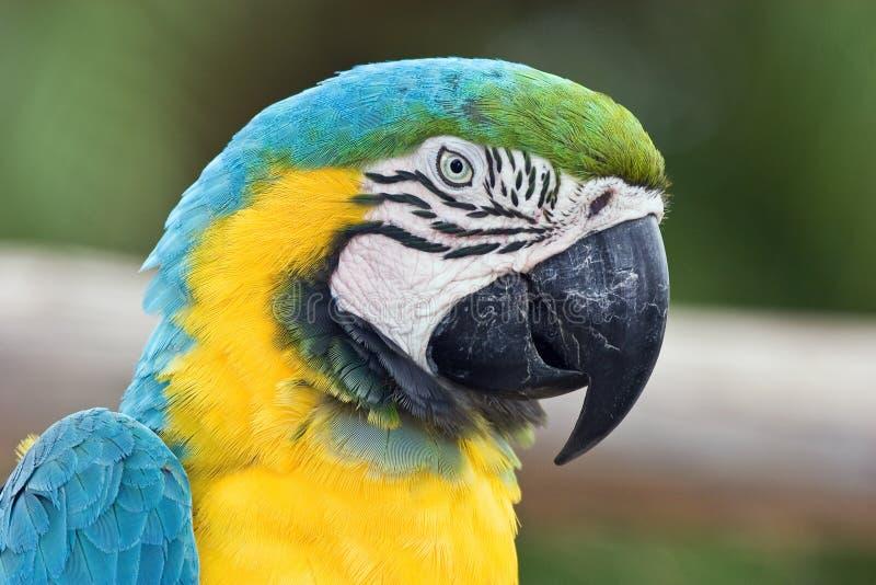 Tête de perroquet photo stock
