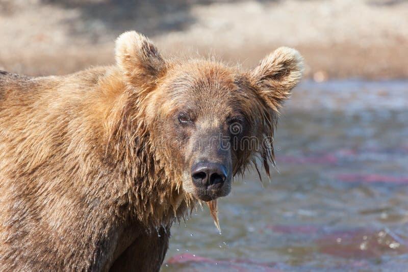 Tête de plan rapproché grisâtre d'arctos d'ursus d'ours sauvage brun images stock