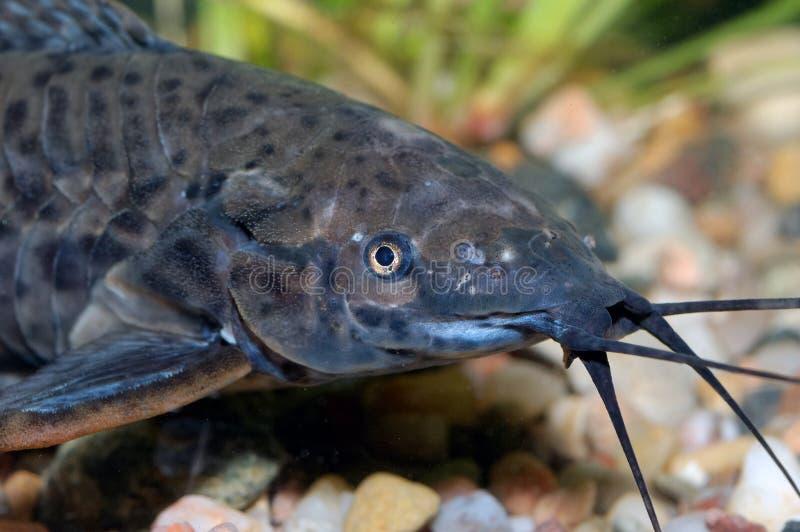 Tête de poisson-chat images stock