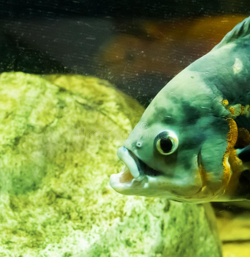 Tête de poissons d'oscar de tigre dans la fin avec la bouche ouverte, un portr drôle photo stock