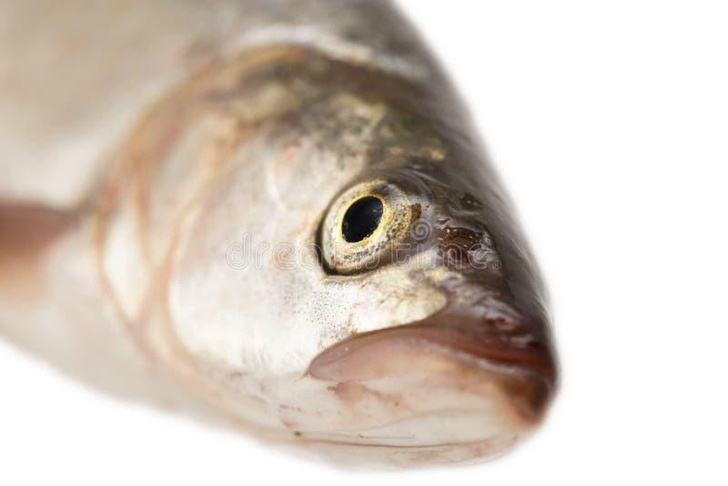 Tête de poissons Macro photos libres de droits