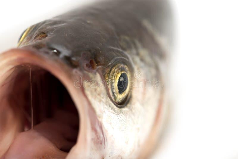 Tête de poissons Macro image libre de droits