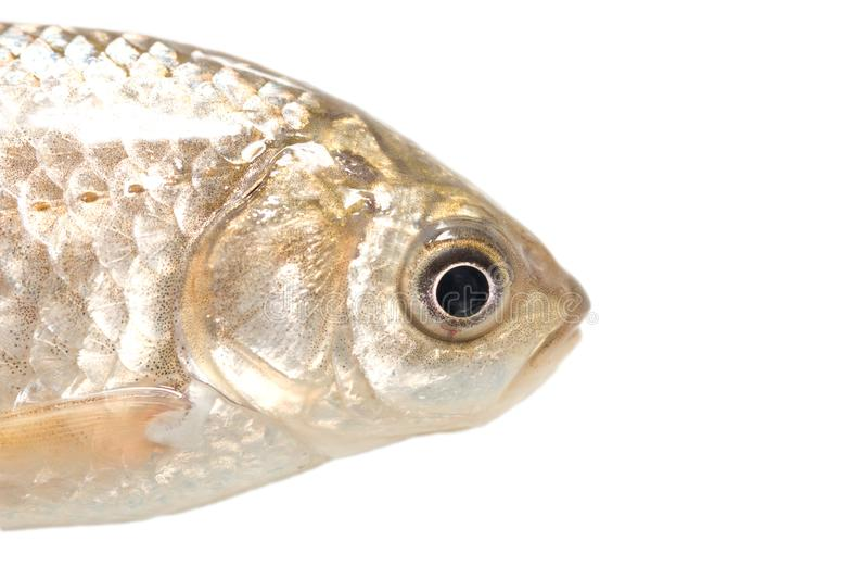 Tête de poissons sur un fond blanc Macro photos stock