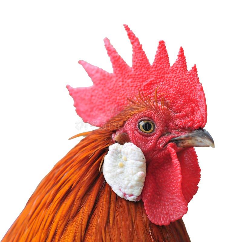 Tête de poulet photo stock