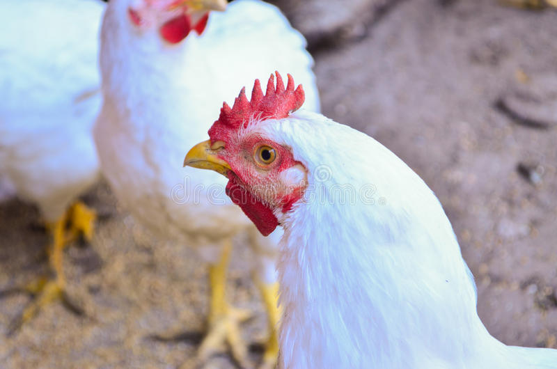 Tête de poulet photos stock