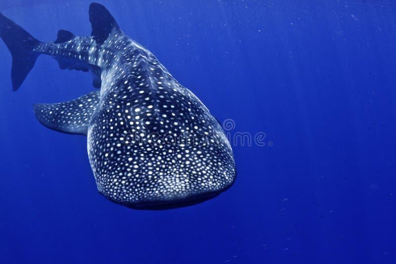 Tête de requin de baleine en fonction images stock