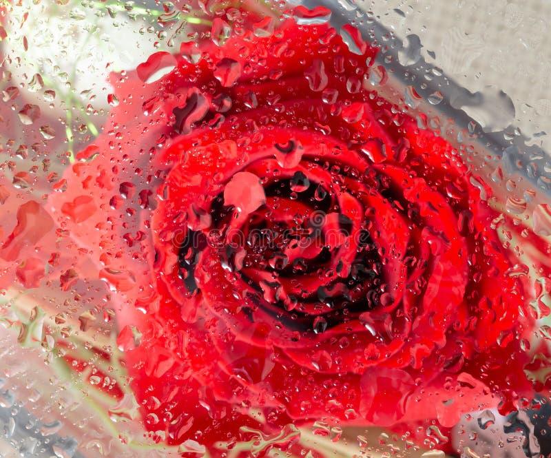 Tête de Rose Flower Through The Glass image stock