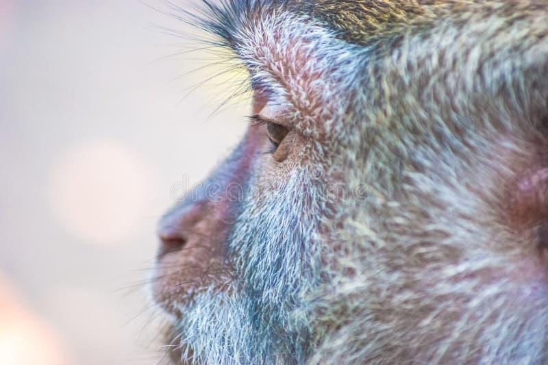 Tête de singe fermée prise de vue latérale et fond flou photo stock