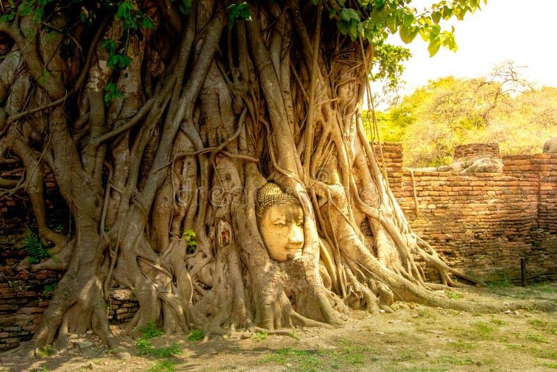 Tête de statue de Bouddha l'arbre image stock