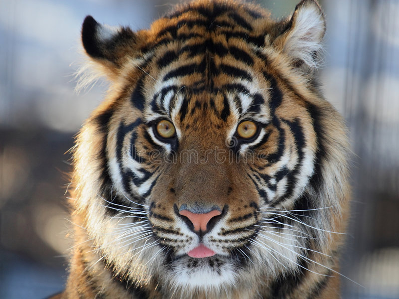 T te de tigre photo stock image du faune profil - Image tete de tigre ...