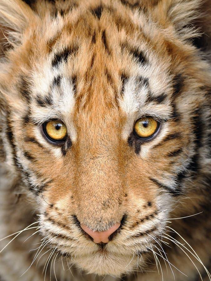 Tête de tigre de chéri de plan rapproché images stock