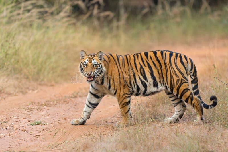 Tête de tigre dessus image libre de droits