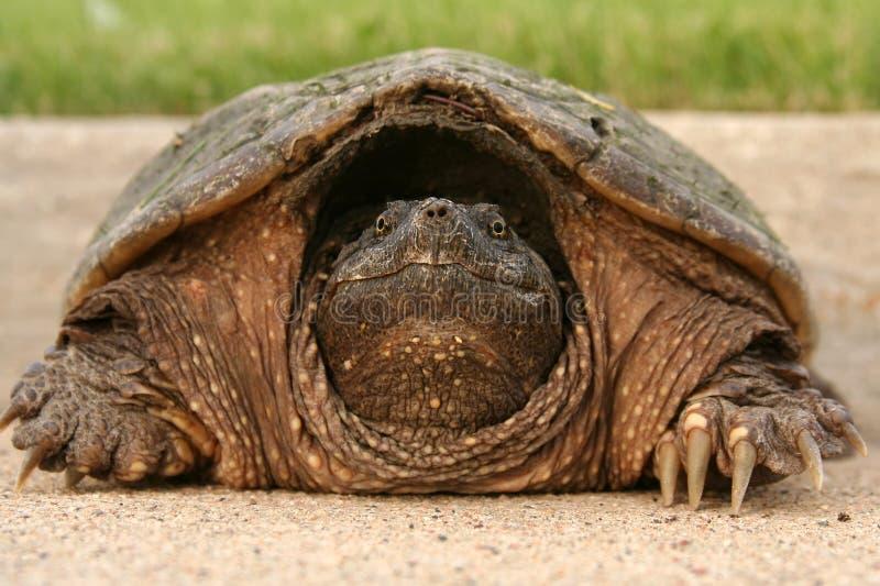 Tête de tortue étant enclenchée images stock