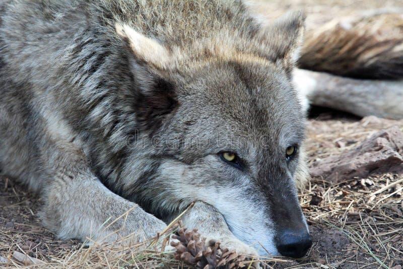 Tête de Wolfs photographie stock