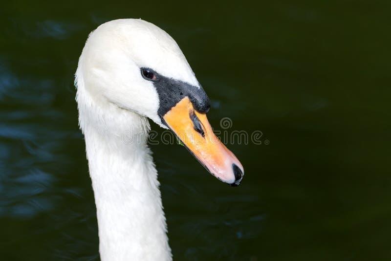 Tête des cygnes muets blancs sur l'étang image libre de droits