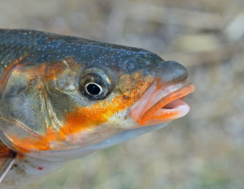 Tête des poissons 11 images stock