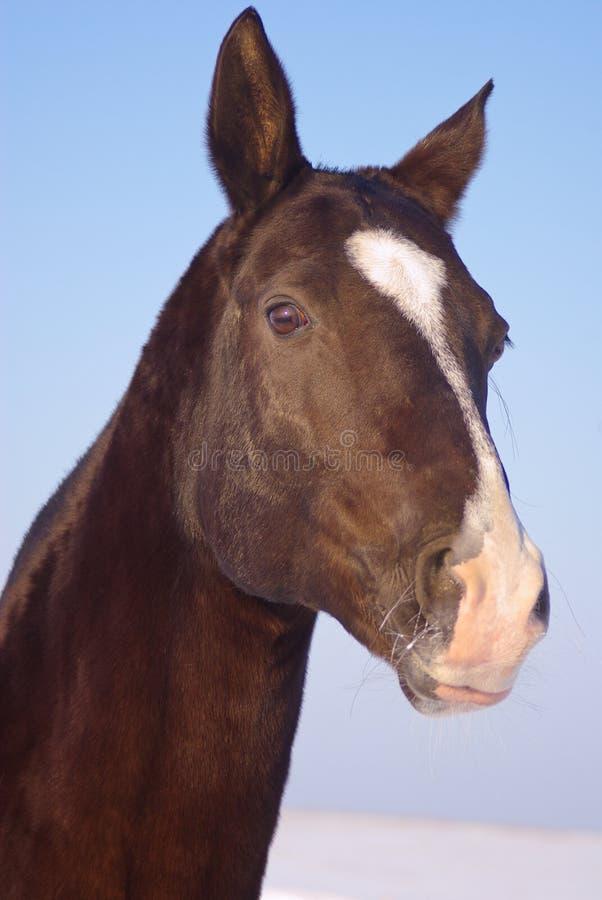 Tête du cheval brun photos libres de droits