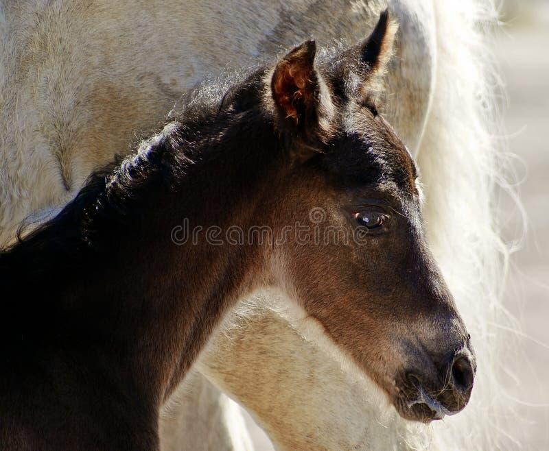 Tête du poulain brun de cheval photo stock