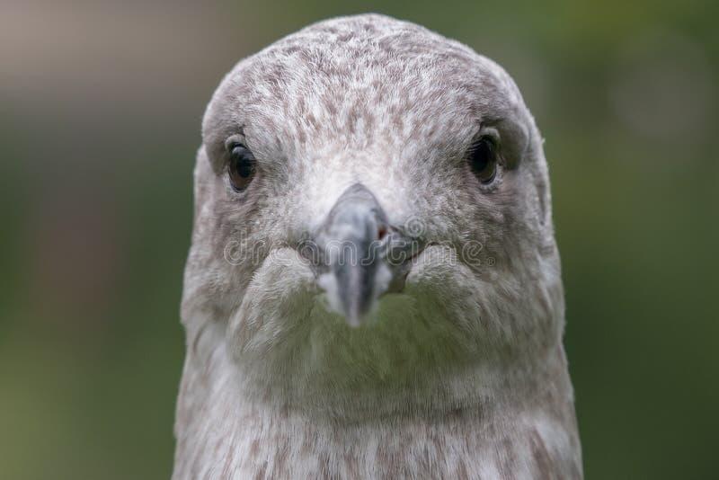 Tête et visage d'harengs d'argentatus juvénile de mouette/mouette/Larus regardant directement l'appareil-photo photos stock