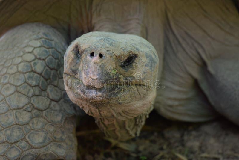 Tête géante de tortue images libres de droits