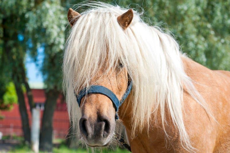 Tête hirsute de poney de Shetland de palomino Summetime de plan rapproché dehors je images stock