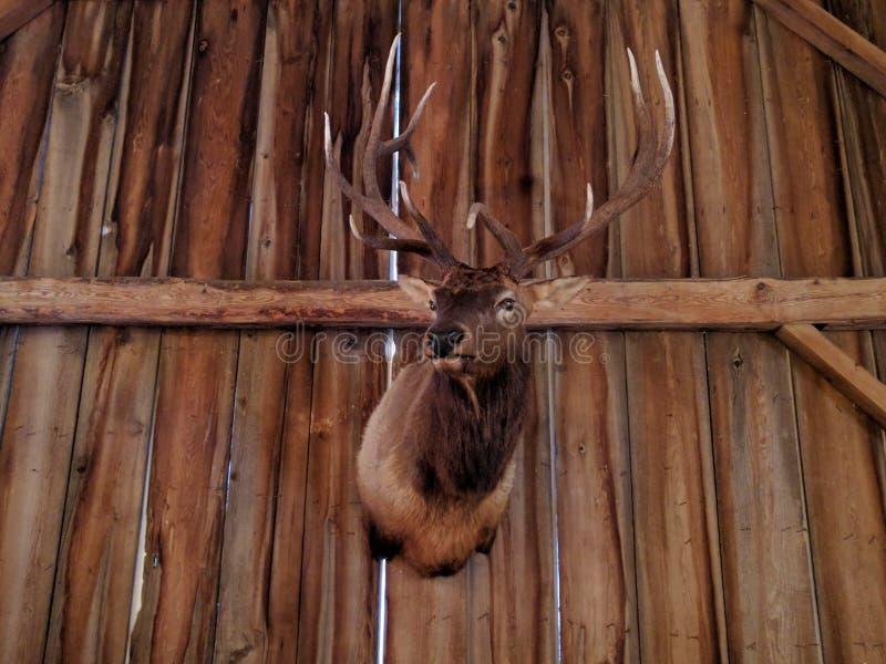 Tête masculine accrochante rustique de cerfs communs photos stock