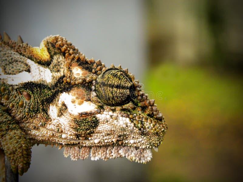 Tête naine 5 de caméléon photos libres de droits