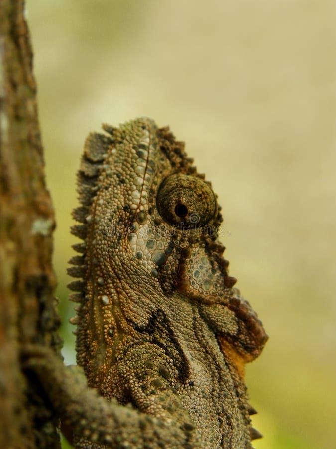 Tête naine du sud de caméléon photographie stock libre de droits