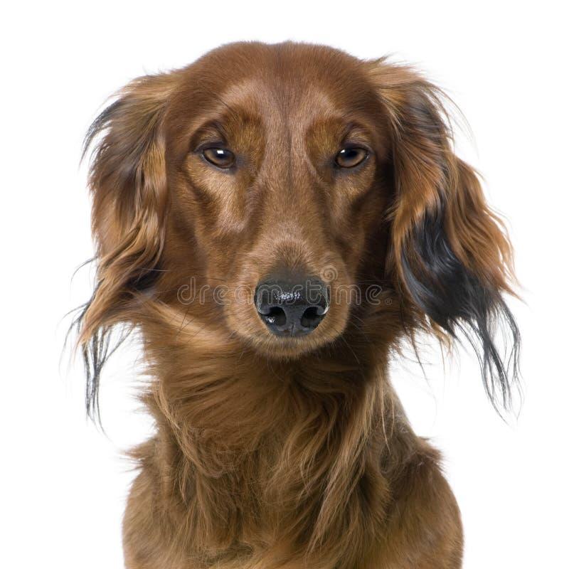 tête proche s d'avant de crabot de dachshund vers le haut de vue photo libre de droits