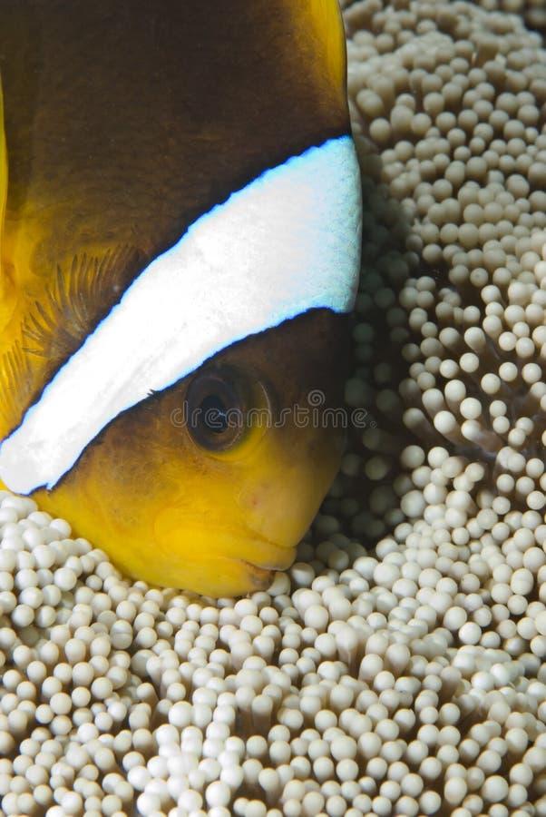 Tête-projectile d'un anemonefish de la Mer Rouge. photos libres de droits