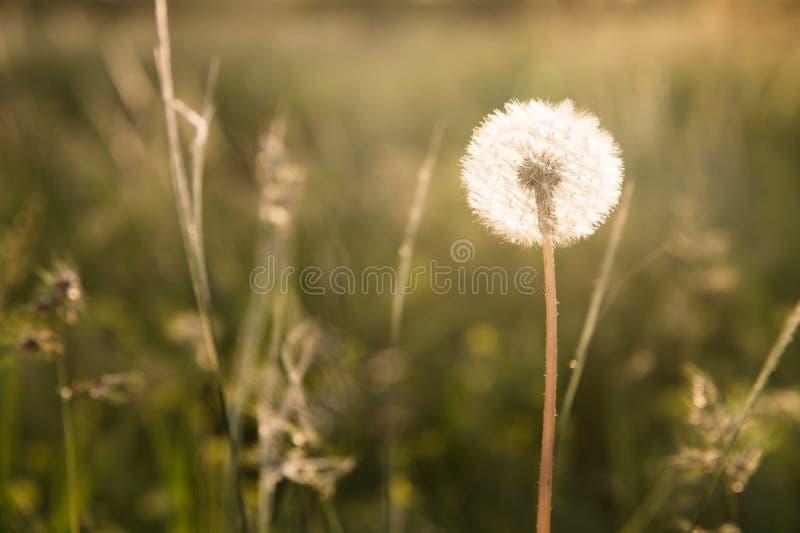 Tête transparente de graine de pissenlit au coucher du soleil en plan rapproché d'herbe verte avec des points culminants du solei photos stock